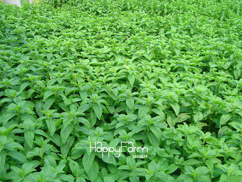 New Fresh Seeds Mint Seed Superior for Herbal Tea Has Radioprotective Effects 200 Seeds / pack,#6ATBLM  New Fresh Seeds Mint Seed Superior for Herbal Tea Has Radioprotective Effects 200 Seeds / pack,#6ATBLM
