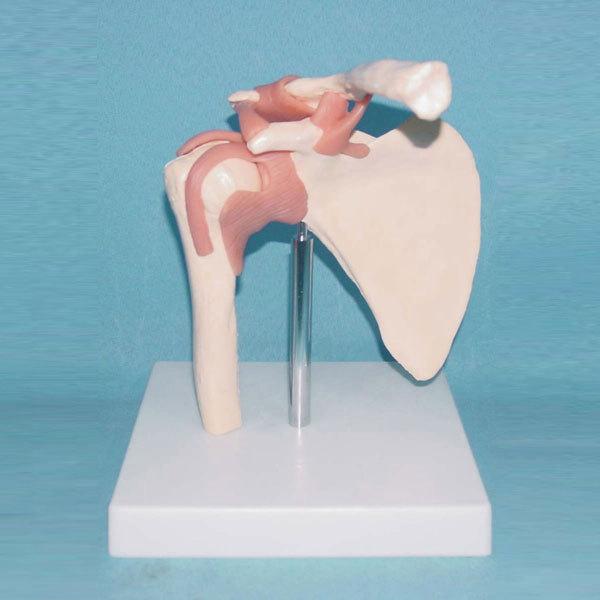 Shoulder Ligament Model Human Joint Model Shoulder