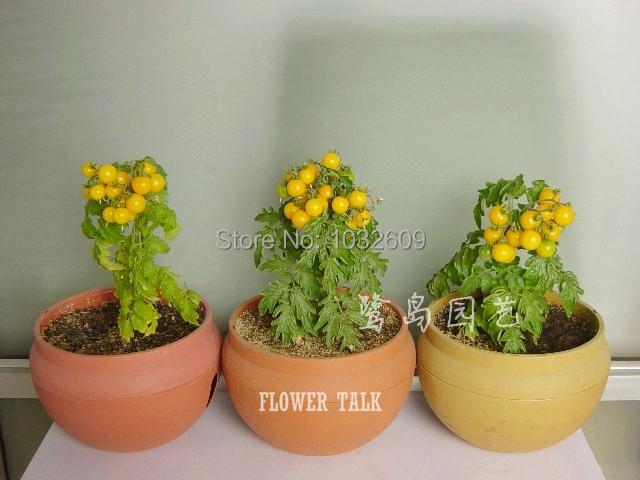 100 seeds of Yellow tomato bonsai fruit love apple sementes frutas bonsai fruit seeds tomato seeds for small gardens FTT016(China (Mainland))