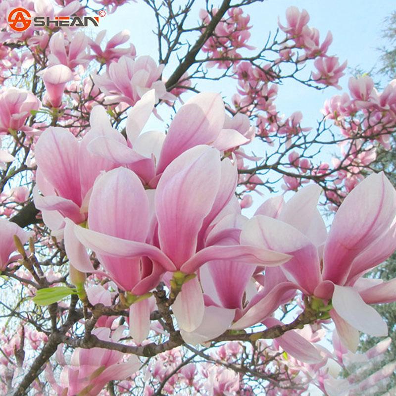 Compra flor de la magnolia online al por mayor de china - Semilla de magnolia ...