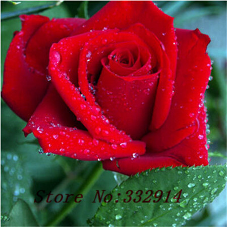 Sale!100 pcs/lot. Red Dragon Chinese Rose Bonsai seed. Beautiful flower and good for cut flower.Free Shipping.(China (Mainland))