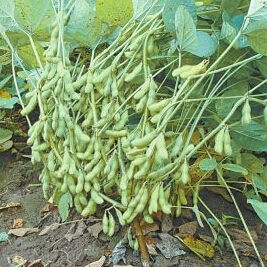 Edamame Seeds,Soybean Seed Soy Bean Green Vegetable 20pcs(China (Mainland))