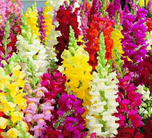 Snapdragon seeds 4SEASON SOW flower seeds 50pcs plant seeds beautify courtyard plant high germination(China (Mainland))