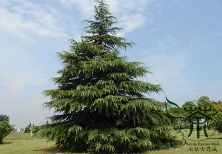 Deodar Cedar Tree Varieties ~ Aliexpress buy excellent evergreen tree cedrus