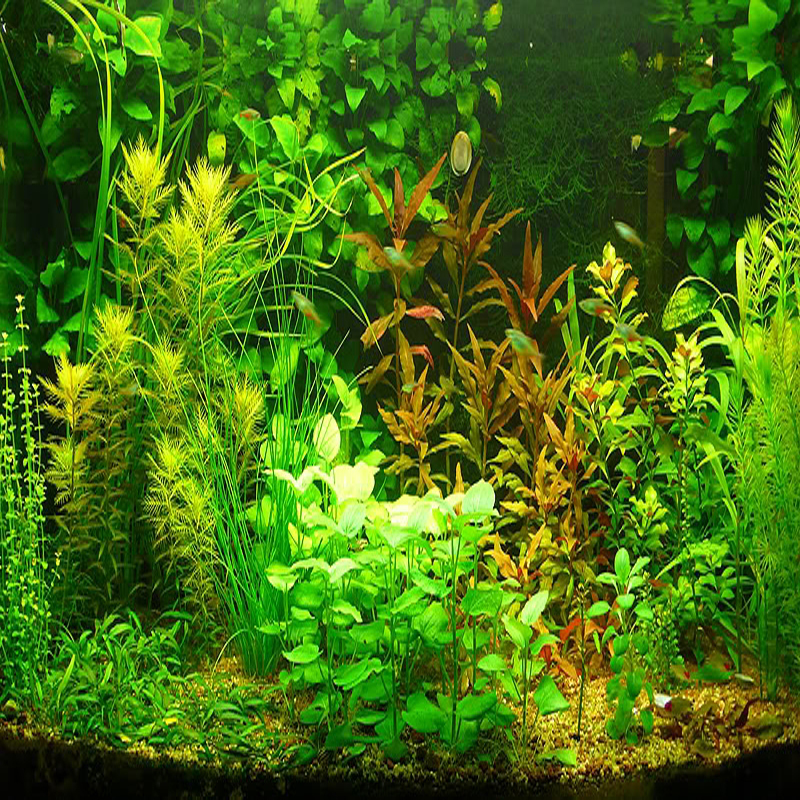 Aquatic plant grass aquatic plant for Easy aquatic plants