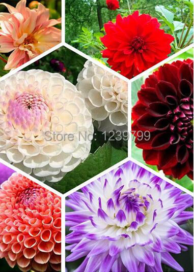 100pcse dahlias seeds flower Seeds for supplies sementes de flores for Home decoration casa e jardim semillas de plantas gift(China (Mainland))