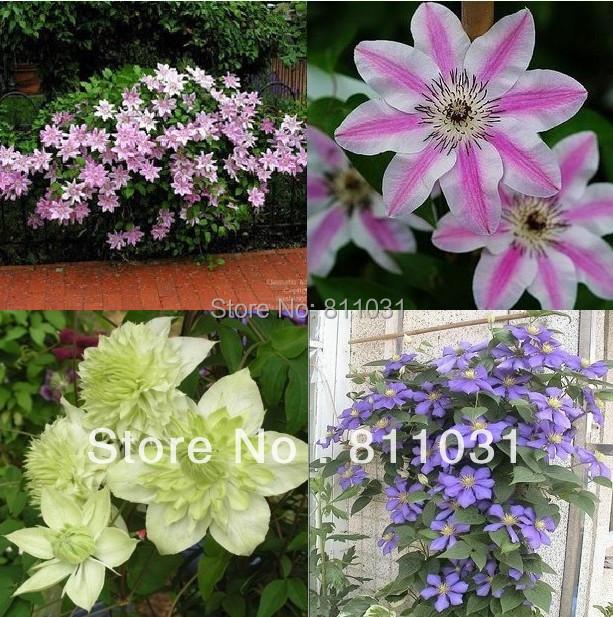 Hot selling 20pcs mix clematis seeds bonsai flower seeds DIY home garden free shipping(China (Mainland))