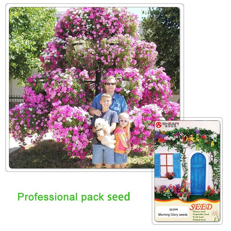 1 Professional pack(50 pieces / lot) Rare Petunia Tree Seeds Rare Seeds for Home Garden Bonsai Morning Glory Flower Seeds(China (Mainland))