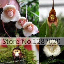 50rare Orchis italica seeds, Pyramid monkey orchid, Italian man orchid, Home Garden Bonsai Balcony DIY