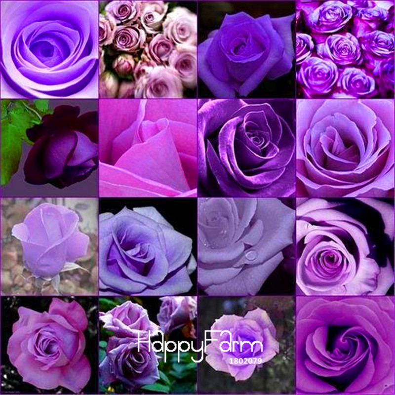 New Seeds 2015!10 Pcs/Pack cheap rare burpee perfume Colors Purple Rose Seed flower seeds home gardening Outdoor plants garden,#(China (Mainland))