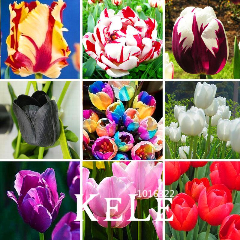 Big Sale, (10 pieces/pack) Tulip seeds,Tulipa gesneriana,potted plants, planting seasons, flowering plants,#Q8UBU4(China (Mainland))