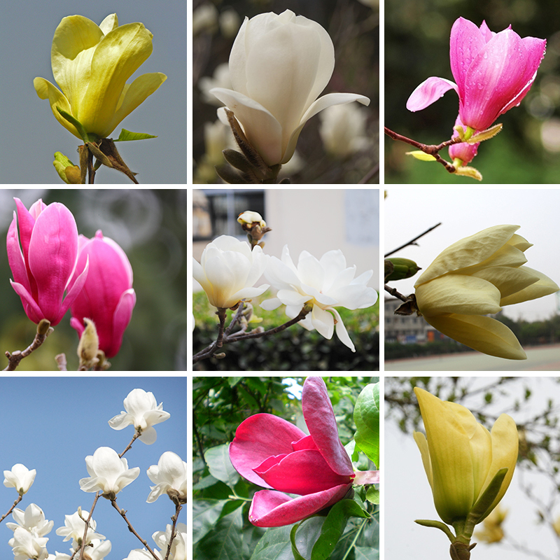 Best-selling Garden Plants Magnolia Seeds Bonsai Tree Seeds of Perennial Flower Magnolia Seeds Multicolor Optional 100 Pcs(China (Mainland))
