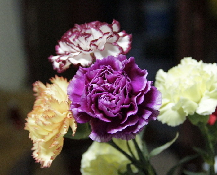 Free Shipping 1 Packs 30 Seeds Mixed Color Carnation Flower Seeds(China (Mainland))