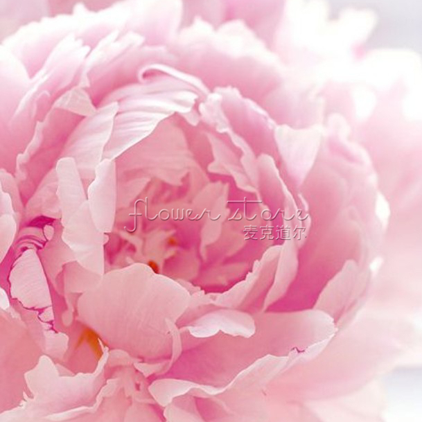 gorgeous 20 pink Pettycoat Flounce Peony garden Flower Seeds DIY Wedding Bouquets Under The Sun(China (Mainland))