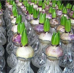 Aromatic seeds, imported from Holland hyacinth bulbs, hydroponic hyacinth bulbs, (mixed colors) 1pcs free shipping(China (Mainland))