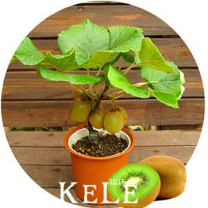 kiwi fruits arbre achetez des lots petit prix kiwi fruits arbre en provenance de fournisseurs. Black Bedroom Furniture Sets. Home Design Ideas