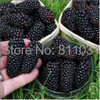 20 Seeds / Pack, Black Mulberry Seeds Morus Nigra Tree Garden Bush Seed DIY  home garden free shipping(China (Mainland))