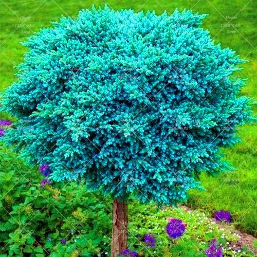 Feuilles persistantes petits arbres promotion achetez for Arbres a feuilles persistantes