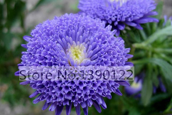 100 bag rare flower aster seeds CALLISTEPHUS CHINENSIS stunning mixed color flower seeds for home garden