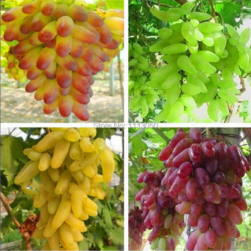 Free shipping, Senior Courtyard Plants , Delicious Fruit seeds , Gold Finger 100pcs Grape Seeds(China (Mainland))
