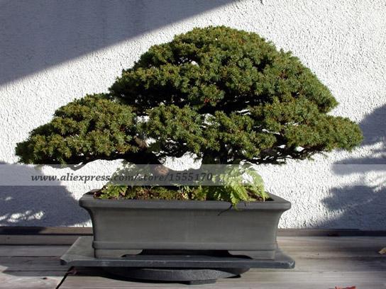 50 PCS, Picea glehnii - Ezo Spruce -Bonsai seeds,Tree Seed ,green tree seeds DIY home garden(China (Mainland))