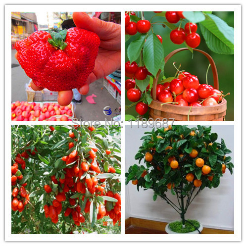 4 kind fruit seeds,include big strawberry seeds and orange ,quality seeds and low price total 500+ seeds(China (Mainland))