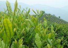 Free Shipping 1kg Taiwan High Mountains Jin Xuan Milk Oolong Tea Frangrant Wulong Tea Tea