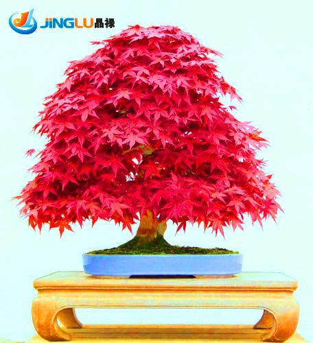 product 50 Seeds / Pack  Panas Menjual Kualitas Tinggi Japanese Maple Bibit Pohon Bonsai Tanaman Diy Taman Rumah Jepang Biji Bunga