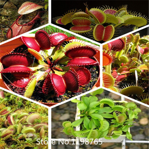 2016 Hot 300 pcs Dionaea seeds Muscipula Seeds Potted Insectivorous Plant flower Seeds Giant Clip Venus Flytrap(China (Mainland))