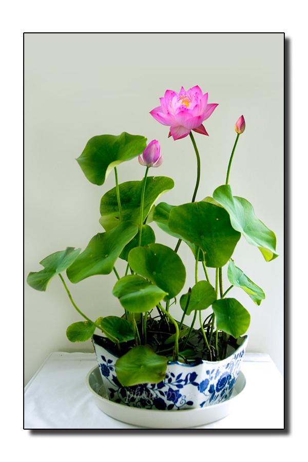 5 pcs bag perennial aquatic plants flower bowl lotus for Perennial pond plants