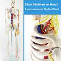 CMAM SKELETON07 85cm Skeleton with Nerves Blood Vessels for School Education