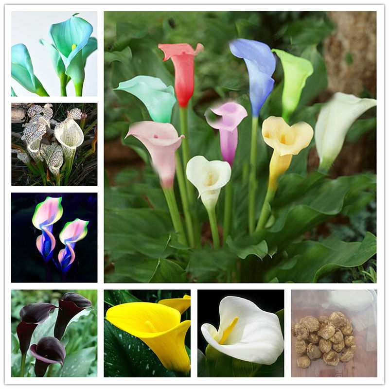 2pcs Mixed Color Calla Lily Seeds Perennial Gardening Summer Flower Bulbs Corm Seed Home Garden Decoration(China (Mainland))