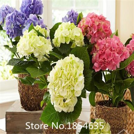 High quality 100 pcs / bag, Hydrangea seeds, color mixture, Plumbago capensis(China (Mainland))