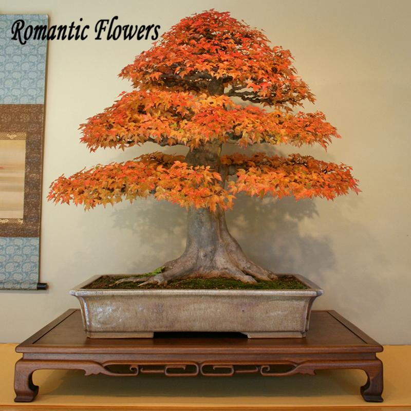 Online kaufen gro handel japanischen ahorn bonsai aus - Bonsai zimmerpflanze ...