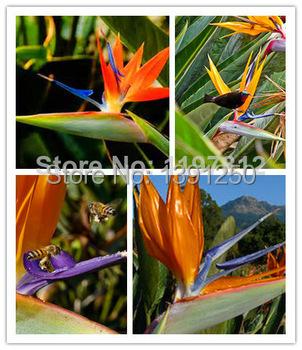 1 lot 20 seeds Annual Indoor Potted Plant Flowers Strelitzia Reginae Seed Bird Paradise Seeds - Princess store