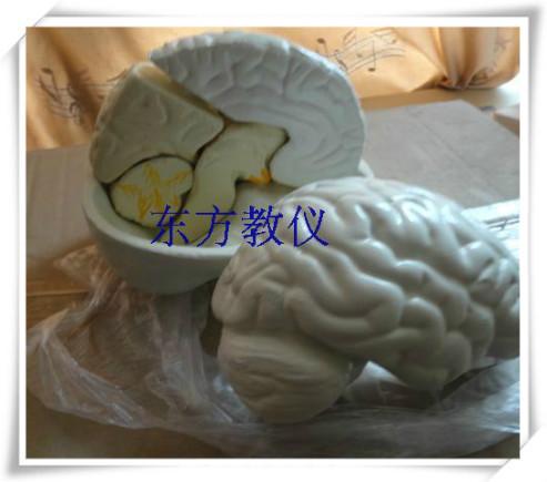 Natural brain anatomical model of human brain structure assembling large medical hemisphere teaching biological laboratory equip(China (Mainland))