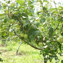 Free Shiping Bonsai Fuji Apple Tree Seeds, (60 pieces Fresh Apple seeds), PLUS MYSTERIOUS seeds 10pcs/lot RS28(China (Mainland))