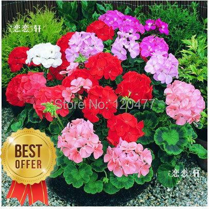 Гаджет  garden geranium, pelargonium geranium seeds, pelargonium flowers -100 seeds None Дом и Сад