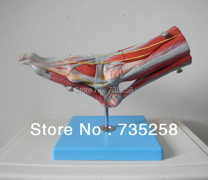 Muscles of Foot with Main Vessels and Nerves Model(China (Mainland))