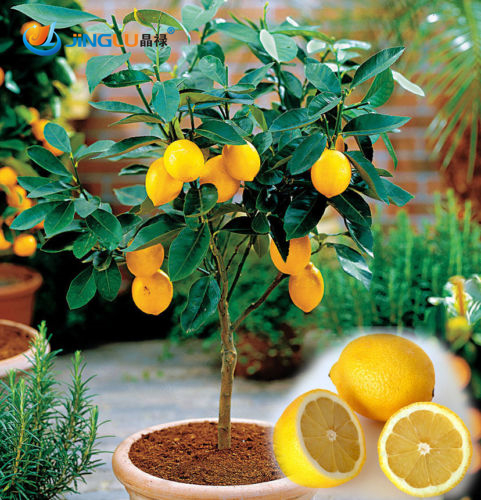 online kaufen gro handel kleinen zitronenbaum aus china kleinen zitronenbaum gro h ndler. Black Bedroom Furniture Sets. Home Design Ideas