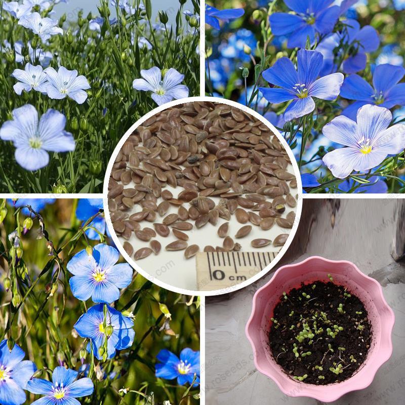 Выращивание льна на семена 154