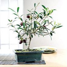 10/bag Olive Bonsai tree (Olea Europaea) Seeds, Bonsai Mini Olive Tree, Olive Bonsai Fresh Exotic Tree Seeds