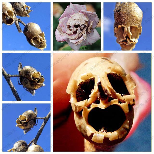 The Death Rose seeds rare and mysterious plant species of snapdragon flower seed pods skull 10 particles / bag(China (Mainland))