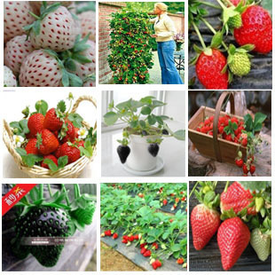 Free Shipping,24 kinds of strawberry seeds, (red, blue, green, yellow, white, black) Seasons Sowing,1 Packs 1000 piece seeds