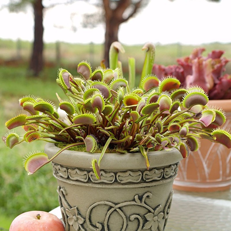 A-Package-100-Pieces-Common-Flytrap-Seed-Bonsai-Potted-Dionaea-Muscipula-Plant-Seed-Terrace-Garden-Carnivorous