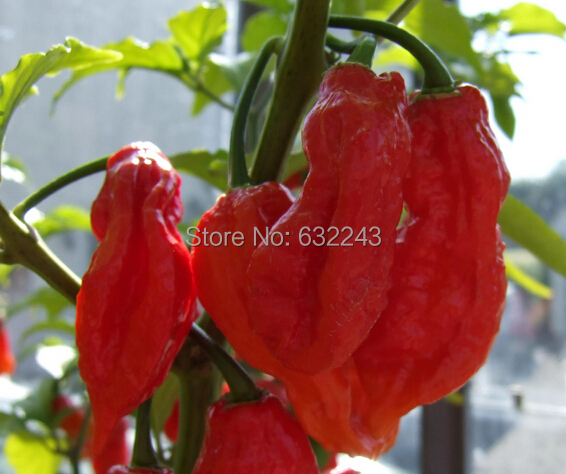 Buy Bhut Jolokia Pepper Bhut Jolokia Chili Pepper