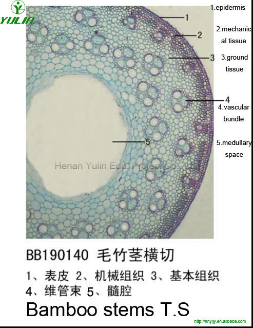 botany microscope prepared slides Stem of Phyllostachys pubescens T.S. with low price and high quality