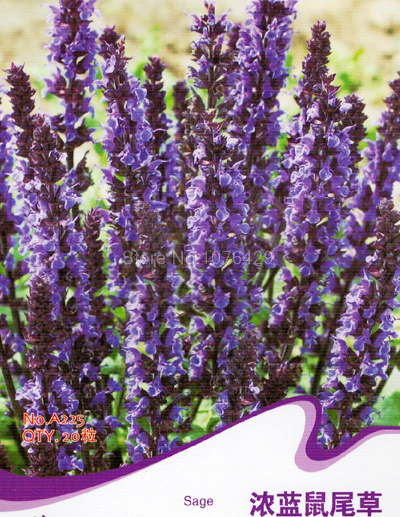 how to grow salvias from seed