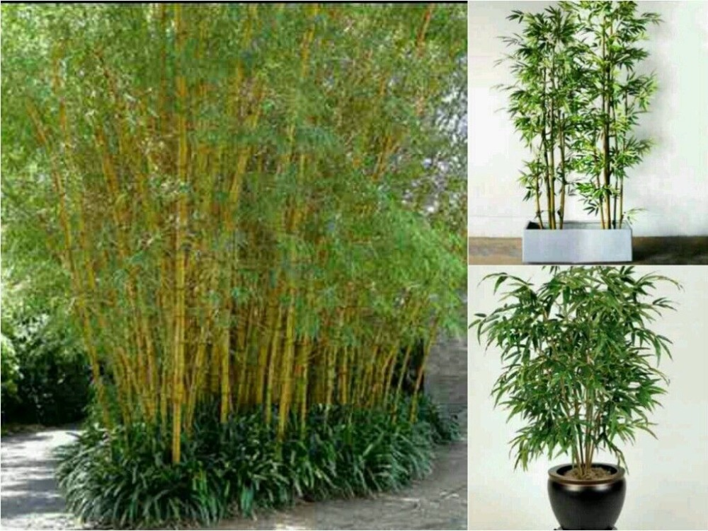 acquista all 39 ingrosso online bamboo plants home da