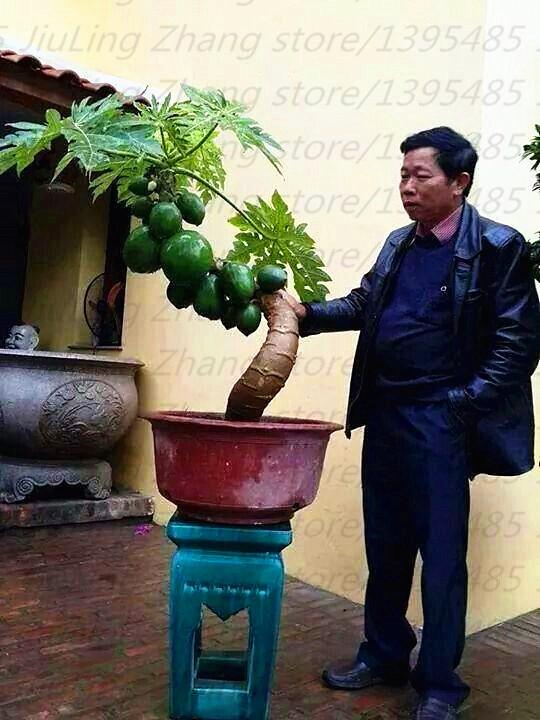 online kaufen gro handel frische papaya aus china frische papaya gro h ndler. Black Bedroom Furniture Sets. Home Design Ideas